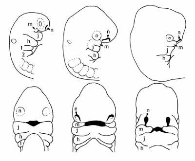 Dibujo de los arcos branquiales humanos
