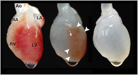 Corazón de rata antes y después del proceso / Thomas Matthiesen