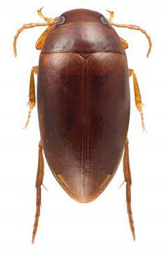 Escarabajo Colbert