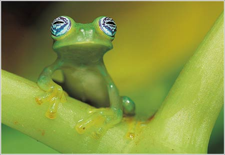 Rana de vidrio © Edwin Giesbers