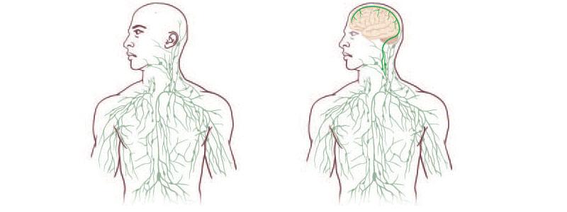 El sistema linfático llega al cerebro
