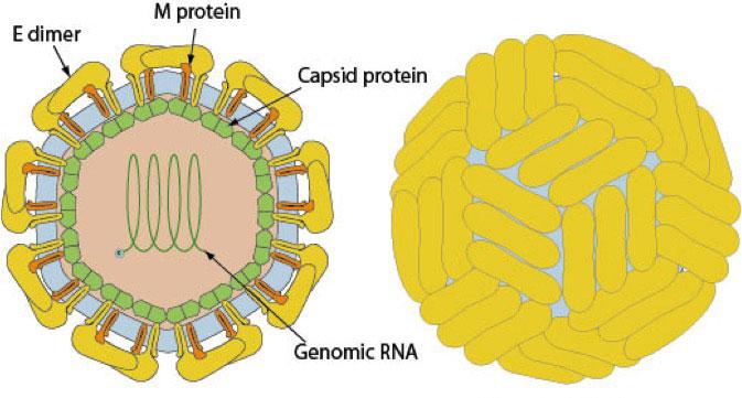 El virus Zika – Viralzone 2001 / Swiss Institute of Bioinformatics