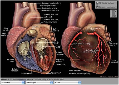 Anatomia del corazón – Yale University