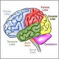 Cerebro (CC) Peta-de-Aztlan