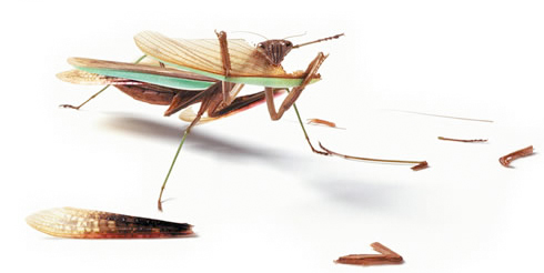 Mantis religiosa - Yummy