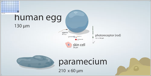 Cell Size and Scale / Universidad de Utah