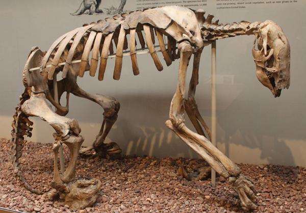 Shasta Sloth