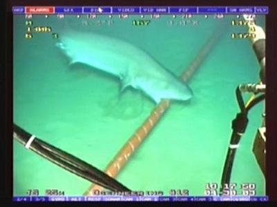 Tiburon-Merendando-Cable-Submarino-1