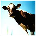 Vaca Curiosa (CC) JelleS @ Flickr