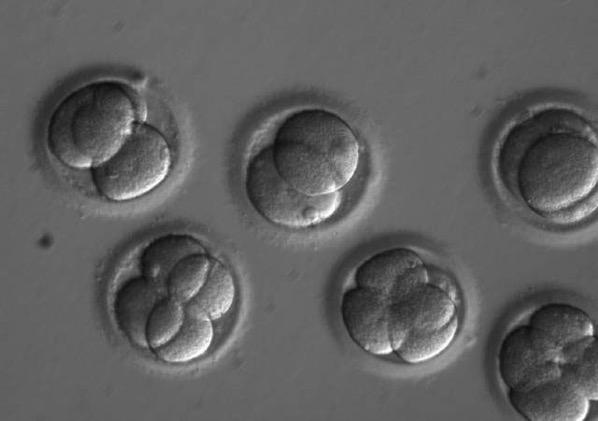 Algunos de los embriones usados en el estudio